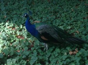 Peacocks :)